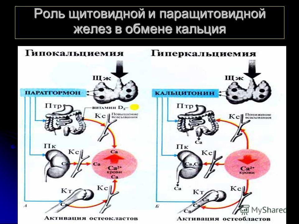 Роль щитовидной и паращитовидной желез в обмене кальция