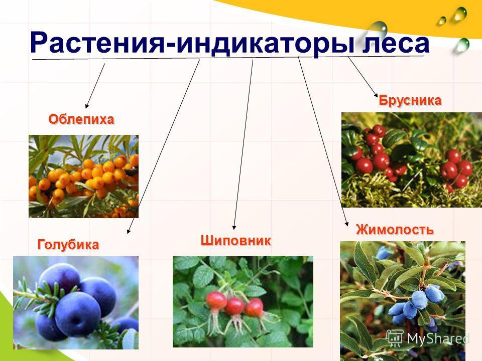 Растения-индикаторы леса Облепиха Голубика Шиповник Жимолость Брусника