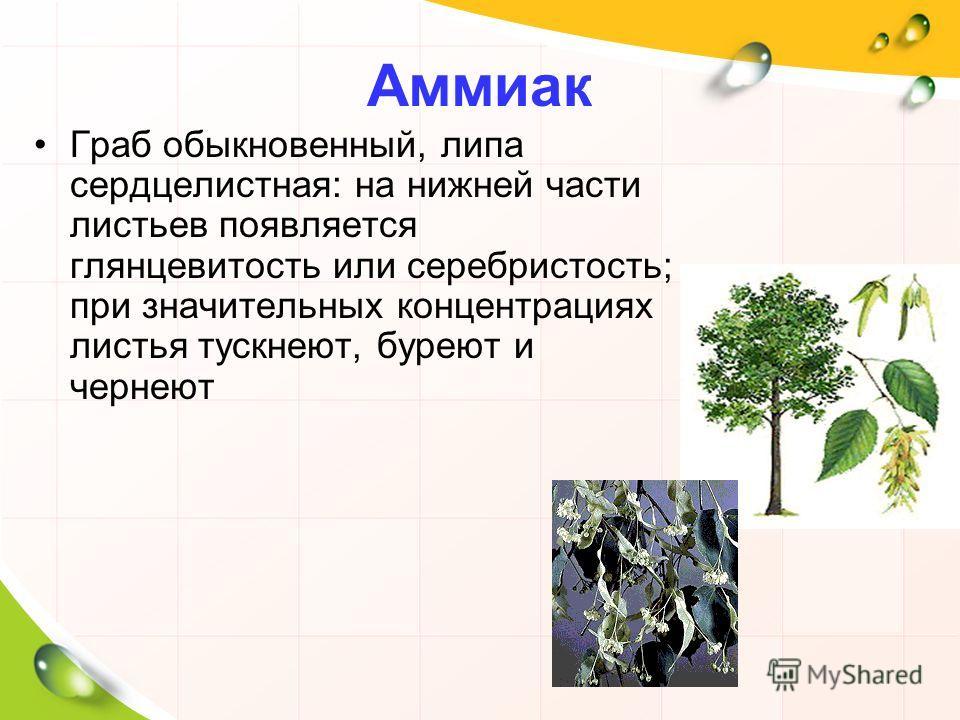 Аммиак Граб обыкновенный, липа сердцелистная: на нижней части листьев появляется глянцевитость или серебристость; при значительных концентрациях листья тускнеют, буреют и чернеют