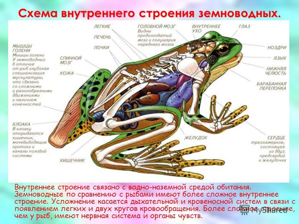 Схема внутреннего строения земноводных. Внутреннее строение связано с водно-наземной средой обитания. Земноводные по сравнению с рыбами имеют более сложное внутреннее строение. Усложнение касается дыхательной и кровеносной систем в связи с появлением