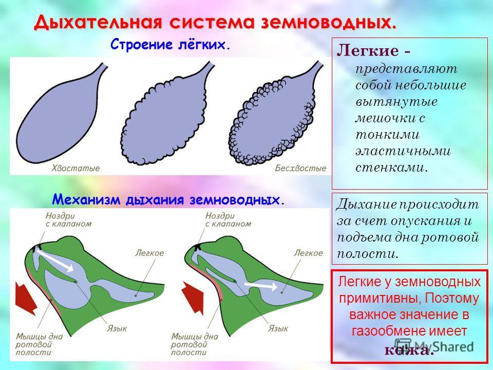 Дыхательная система земноводных. Строение лёгких. Механизм дыхания земноводных. Легкие - представляют собой небольшие вытянутые мешочки с тонкими эластичными стенками. Дыхание происходит за счет опускания и подъема дна ротовой полости. Легкие у земно