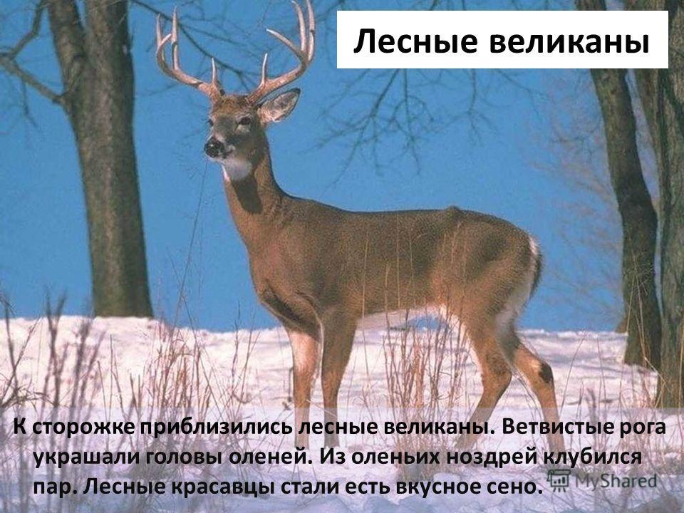 Лесные великаны К сторожке приблизились лесные великаны. Ветвистые рога украшали головы оленей. Из оленьих ноздрей клубился пар. Лесные красавцы стали есть вкусное сено.