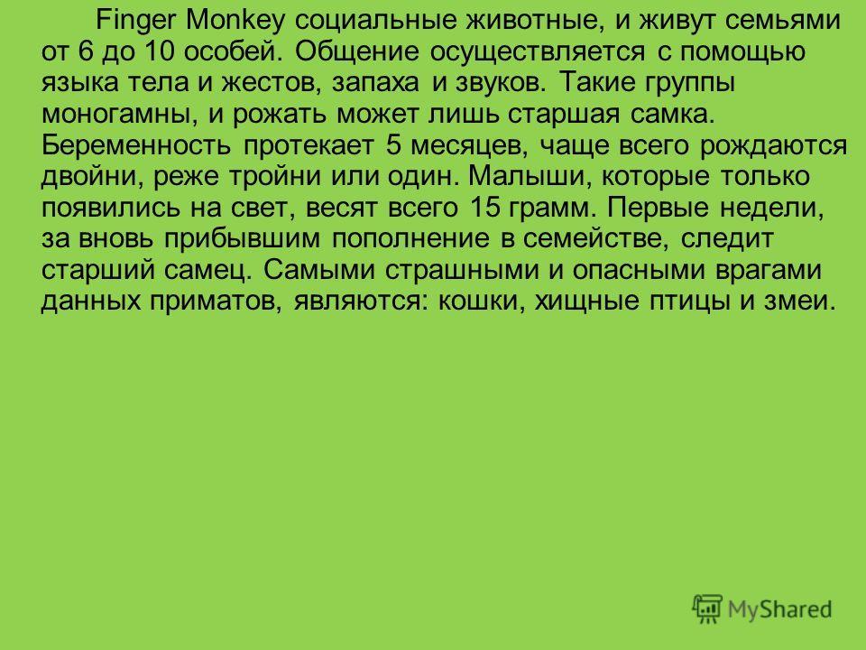 Finger Monkey социальные животные, и живут семьями от 6 до 10 особей. Общение осуществляется с помощью языка тела и жестов, запаха и звуков. Такие группы моногамны, и рожать может лишь старшая самка. Беременность протекает 5 месяцев, чаще всего рожда