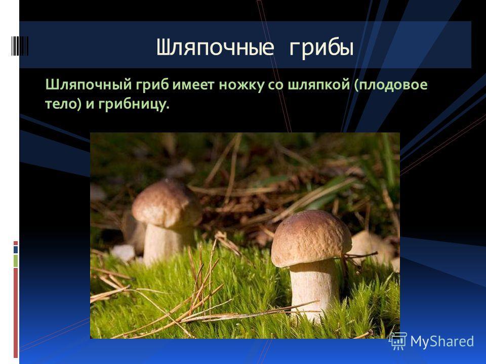 Шляпочный гриб имеет ножку со шляпкой (плодовое тело) и грибницу. Шляпочные грибы
