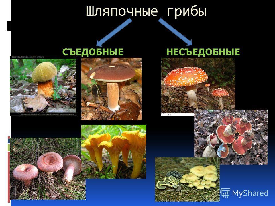 Шляпочные грибы СЪЕДОБНЫЕНЕСЪЕДОБНЫЕ