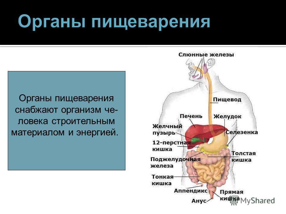 Органы пищеварения снабжают организм человека строительным материалом и энергией.