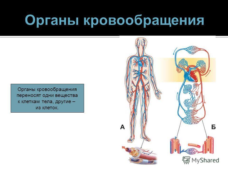 Органы кровообращения переносят одни вещества к клеткам тела, другие – из клеток.