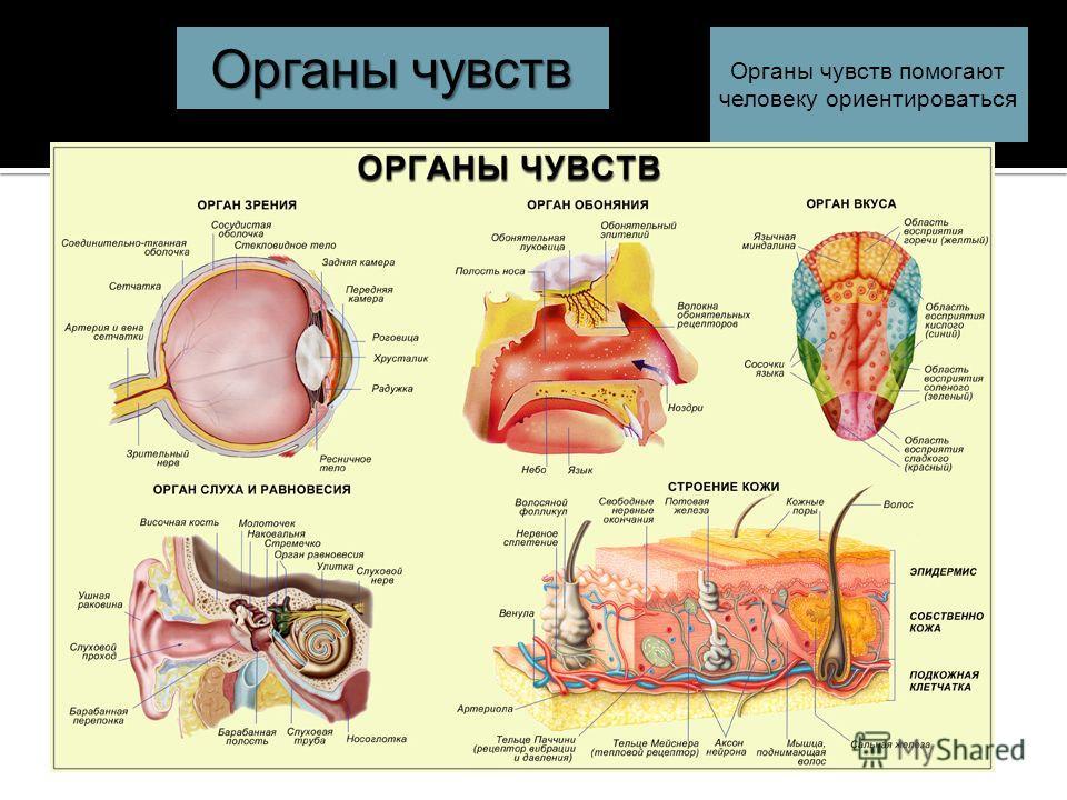 Органы чувств помогают человеку ориентироваться Органы чувств