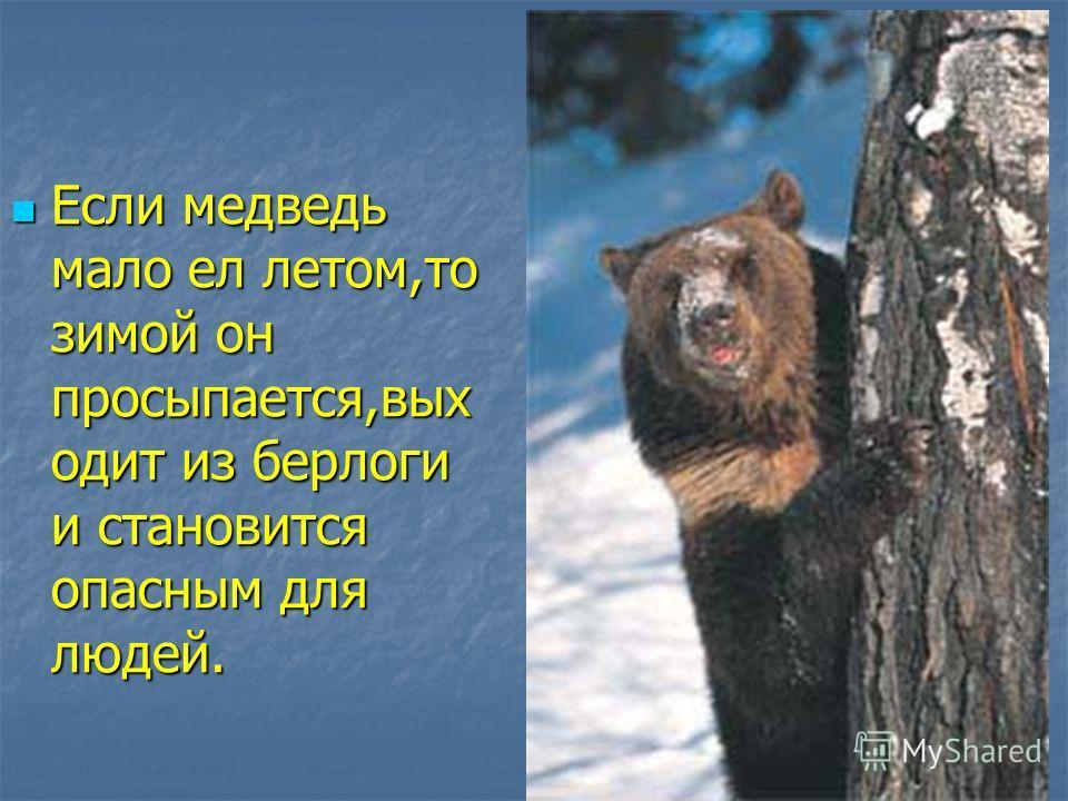 Если медведь мало ел летом,то зимой он просыпается,выходит из берлоги и становится опасным для людей. Если медведь мало ел летом,то зимой он просыпается,выходит из берлоги и становится опасным для людей.