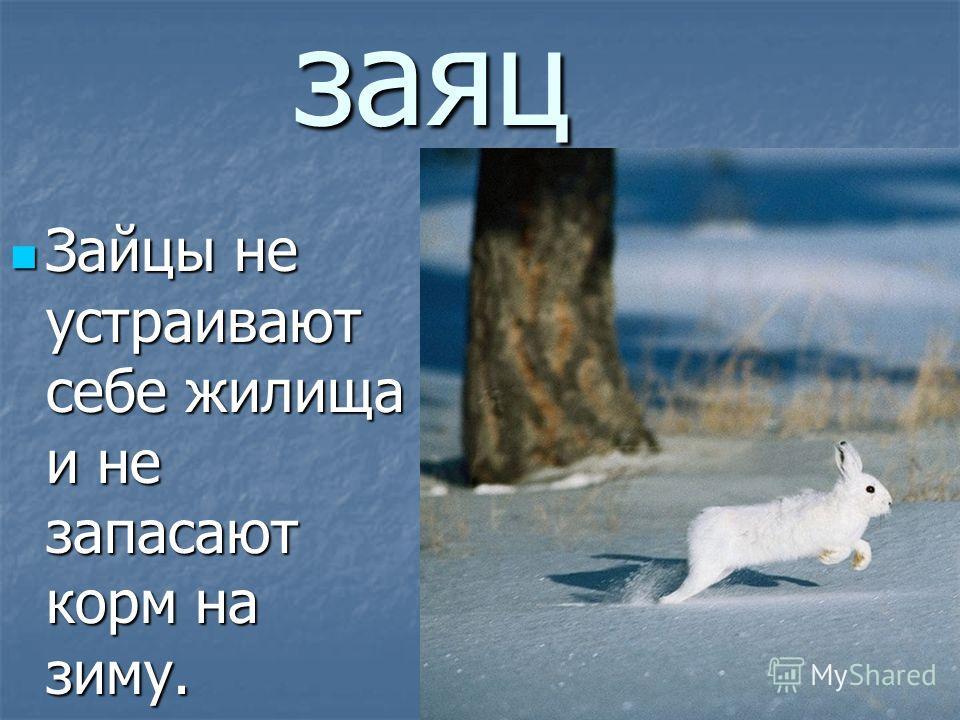 заяц Зайцы не устраивают себе жилища и не запасают корм на зиму. Зайцы не устраивают себе жилища и не запасают корм на зиму.