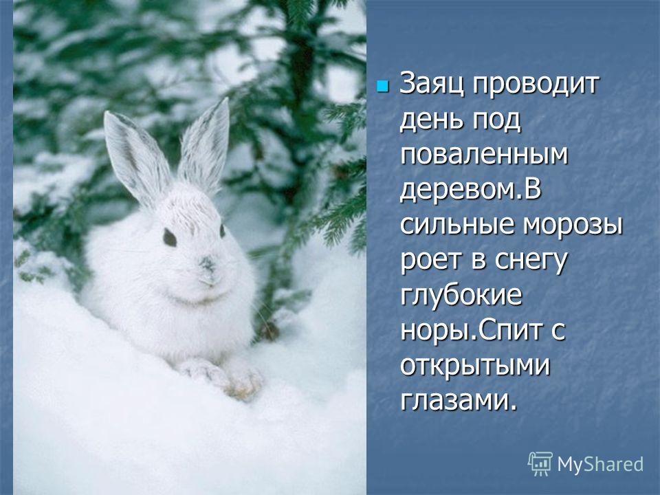 Заяц проводит день под поваленным деревом.В сильные морозы роет в снегу глубокие норы.Спит с открытыми глазами. Заяц проводит день под поваленным деревом.В сильные морозы роет в снегу глубокие норы.Спит с открытыми глазами.