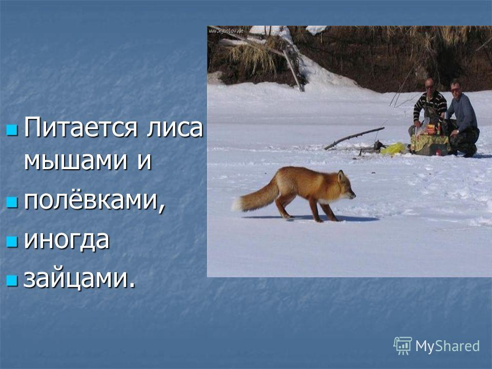 Питается лиса мышами и Питается лиса мышами и полёвками, полёвками, иногда иногда зайцами. зайцами.