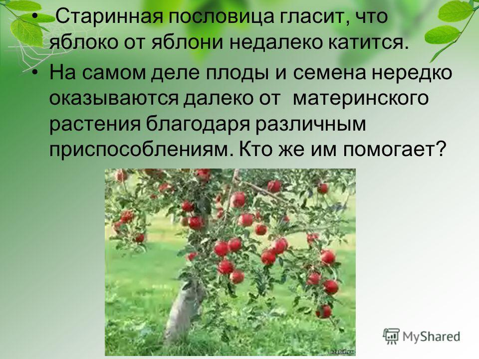 Старинная пословица гласит, что яблоко от яблони недалеко катится. На самом деле плоды и семена нередко оказываются далеко от материнского растения благодаря различным приспособлениям. Кто же им помогает?