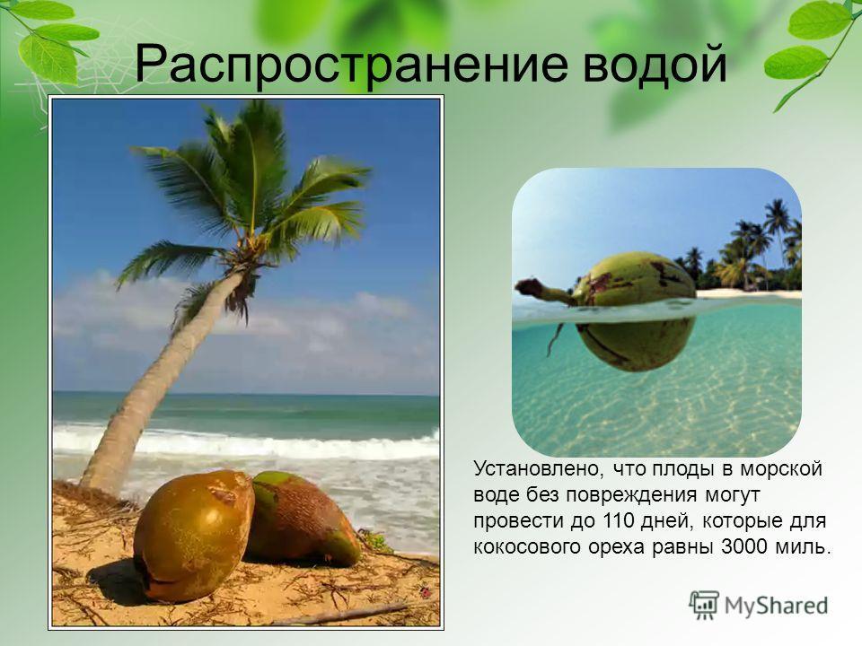 Распространение водой Установлено, что плоды в морской воде без повреждения могут провести до 110 дней, которые для кокосового ореха равны 3000 миль.