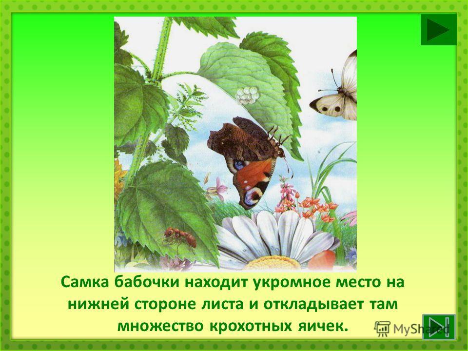 Самка бабочки находит укромное место на нижней стороне листа и откладывает там множество крохотных яичек.