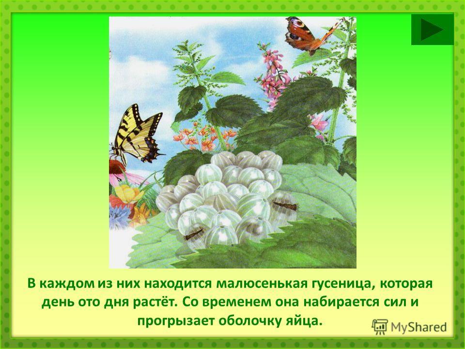 В каждом из них находится малюсенькая гусеница, которая день ото дня растёт. Со временем она набирается сил и прогрызает оболочку яйца.