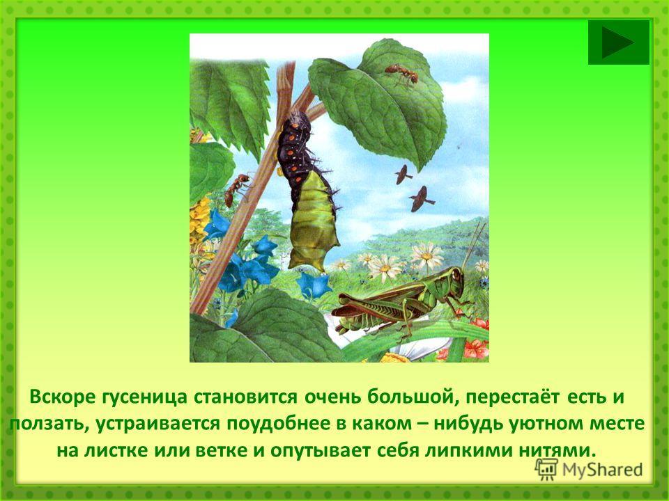 Вскоре гусеница становится очень большой, перестаёт есть и ползать, устраивается поудобнее в каком – нибудь уютном месте на листке или ветке и опутывает себя липкими нитями.