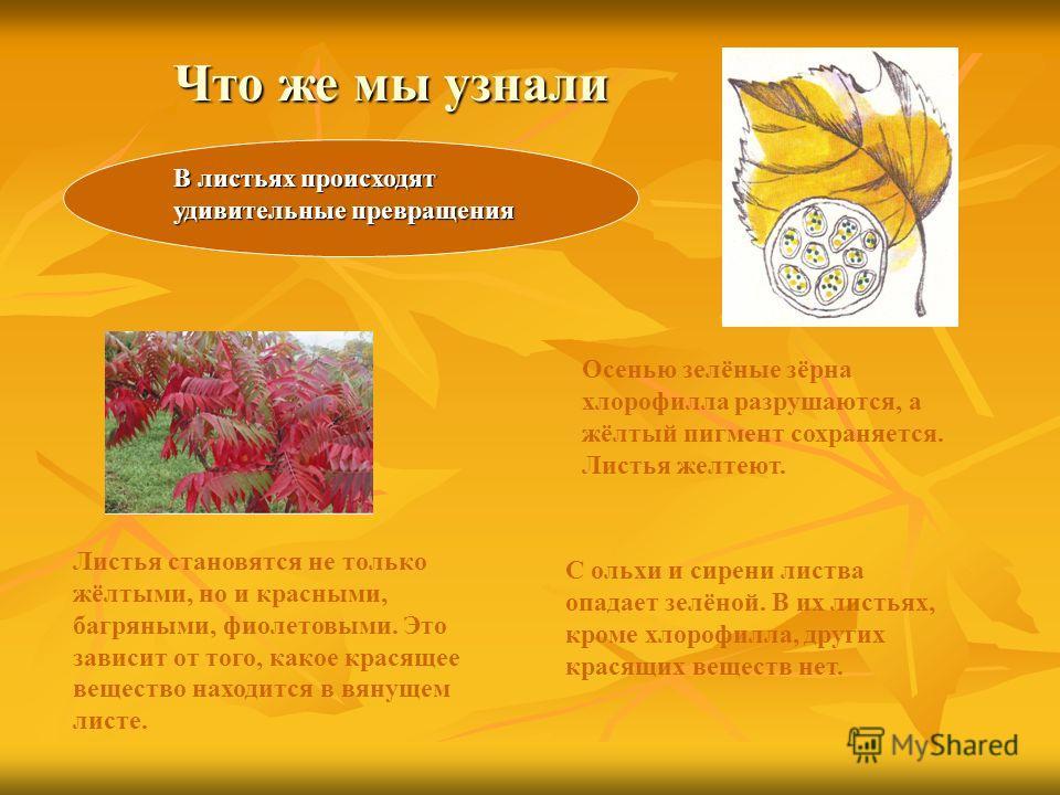 Что же мы узнали В листьях происходят удивительные превращения Осенью зелёные зёрна хлорофилла разрушаются, а жёлтый пигмент сохраняется. Листья желтеют. Листья становятся не только жёлтыми, но и красными, багряными, фиолетовыми. Это зависит от того,