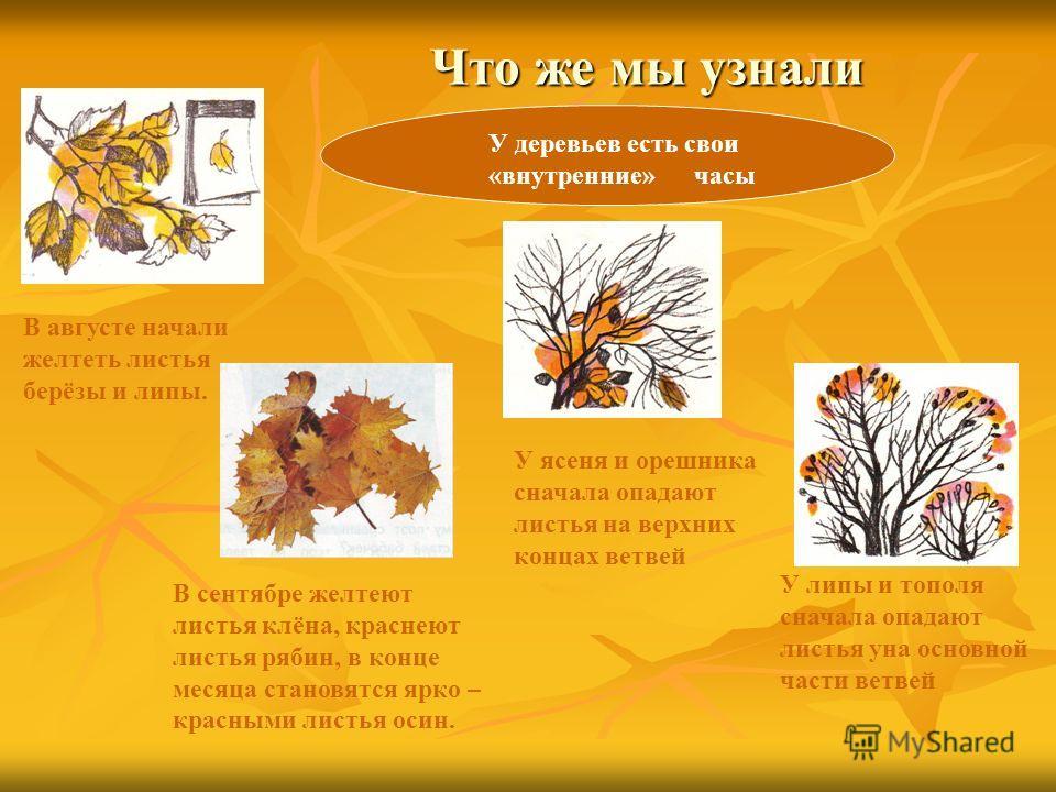 Что же мы узнали Что же мы узнали У деревьев есть свои «внутренние» часы В августе начали желтеть листья берёзы и липы. В сентябре желтеют листья клёна, краснеют листья рябин, в конце месяца становятся ярко – красными листья осин. У ясеня и орешника