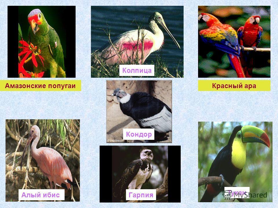 Красный ара Амазонские попугаи Тукан Гарпия Колпица Алый ибис Кондор