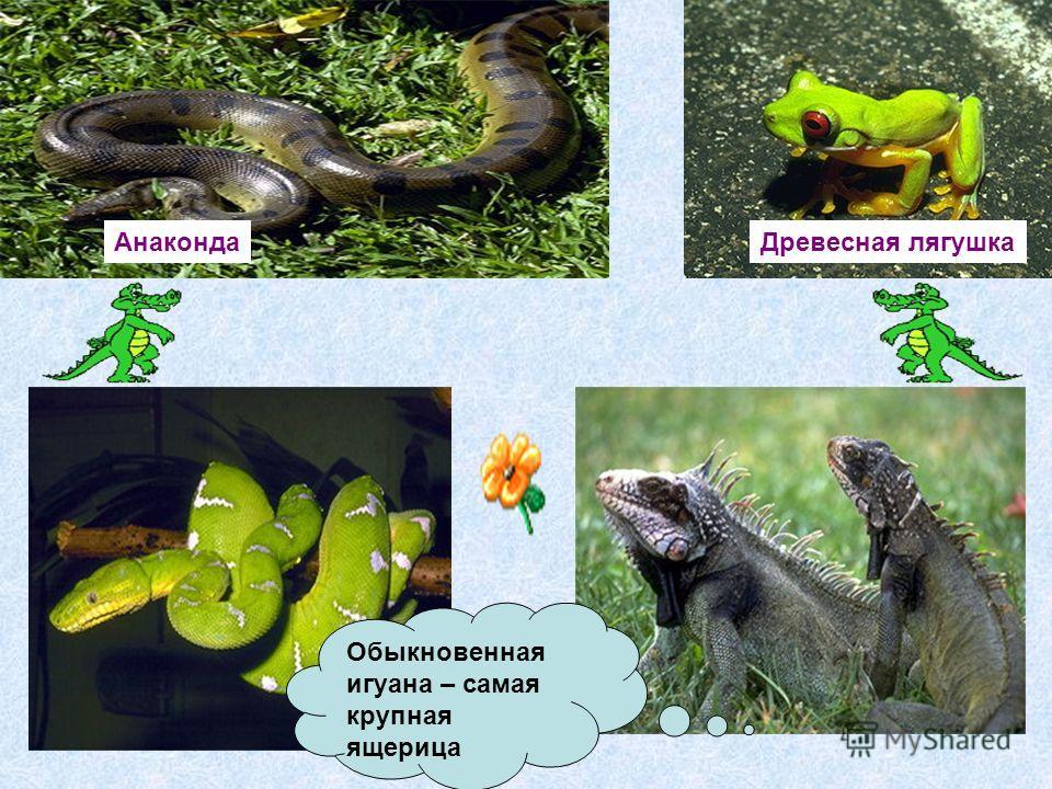 Анаконда Древесная лягушка Обыкновенная игуана – самая крупная ящерица