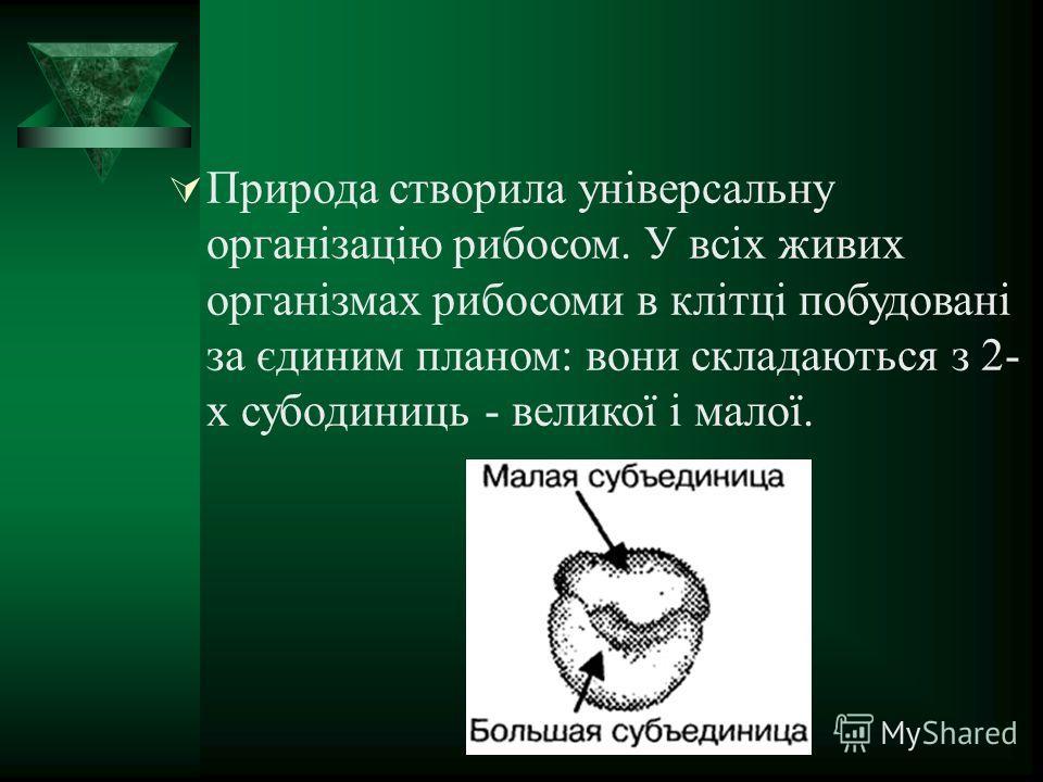Природа створила універсальну організацію рибосом. У всіх живих організмах рибосомы в клітці побудовані за єдиним планом: вони складаються з 2- х субодиниць - великої і малої.