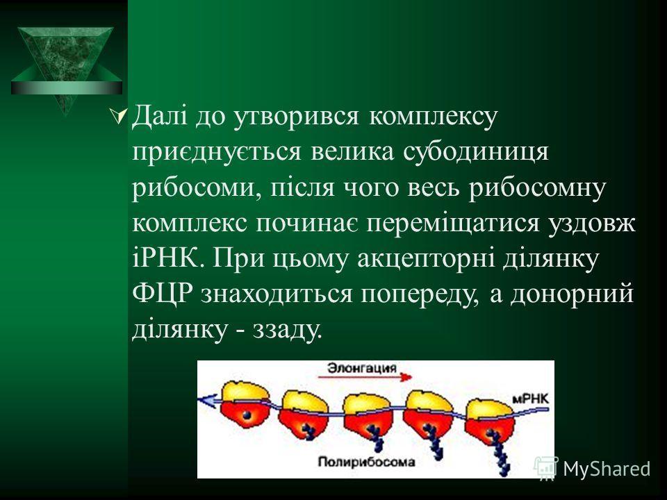 Далі до утворився комплексу приєднується велика субодиниця рибосомы, після чего весь рибосомну комплекс починає переміщатися уздовж іРНК. При цьому акцепторні ділянку ФЦР знаходиться попереду, а донорный ділянку - заду.