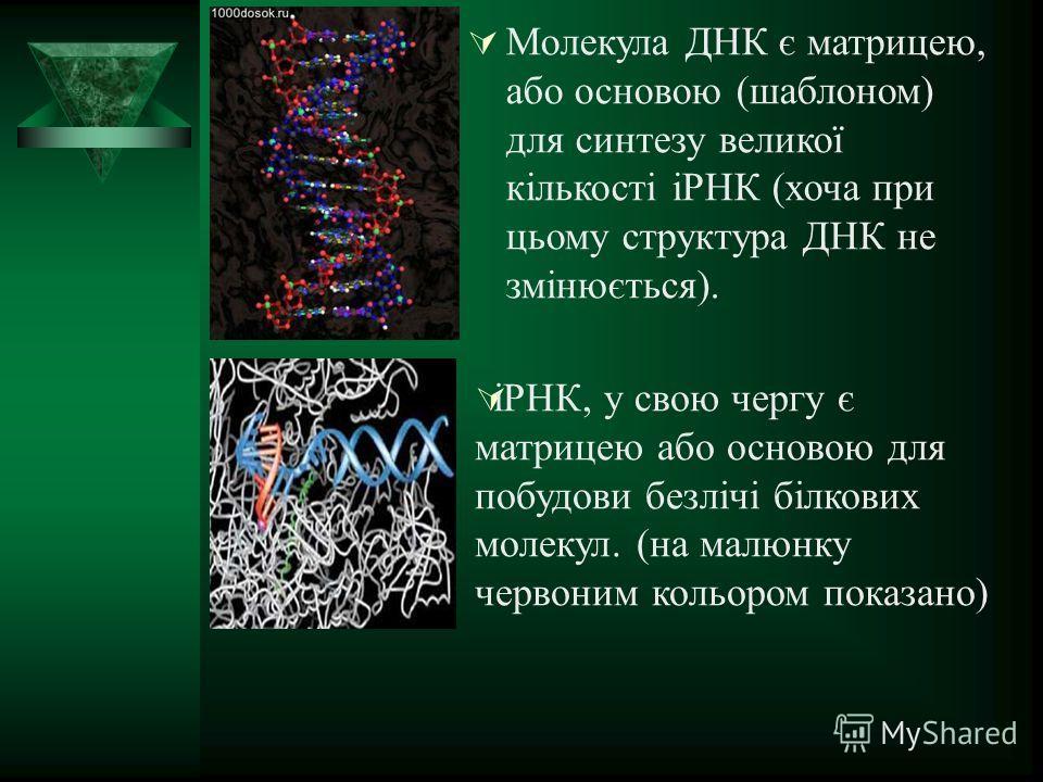 Молекула ДНК є матрицею, обо основою (шаблоном) для синтезу великої кількості іРНК (хочу при цьому структура ДНК не змінюється). іРНК, у свою чергу є матрицею обо основою для побудови безлічі білкових молекул. (на малюнку червоном кольором показано)