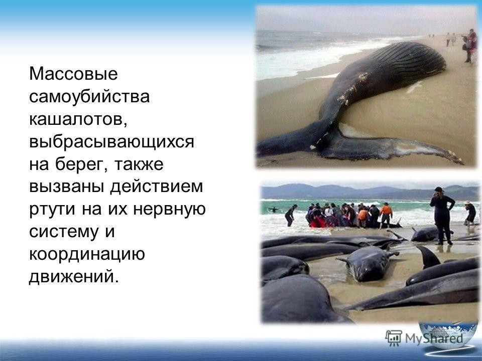 Массовые самоубийства кашалотов, выбрасывающихся на берег, также вызваны действием ртути на их нервную систему и координацию движений.