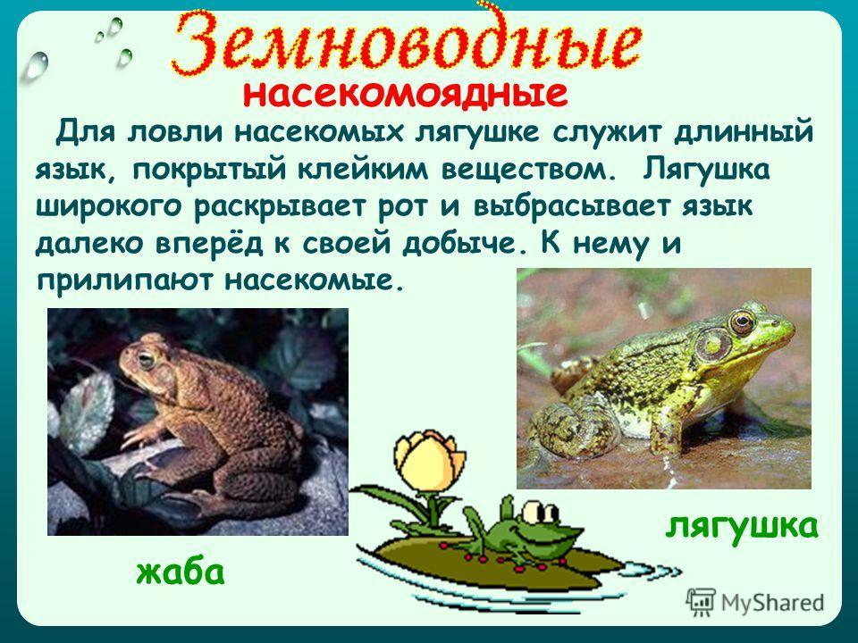 насекомоядные Для ловли насекомых лягушке служит длинный язык, покрытый клейким веществом. Лягушка широкого раскрывает рот и выбрасывает язык далеко вперёд к своей добыче. К нему и прилипают насекомые. лягушка жаба