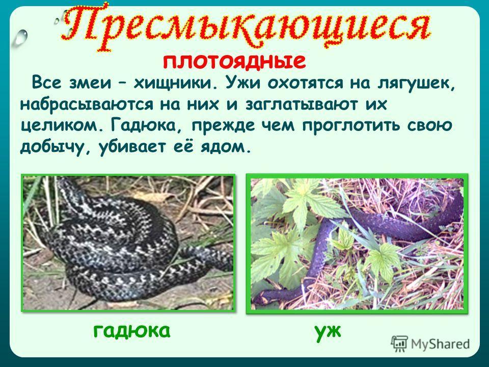 плотоядные Все змеи – хищники. Ужи охотятся на лягушек, набрасываются на них и заглатывают их целиком. Гадюка, прежде чем проглотить свою добычу, убивает её ядом. ужгадюка