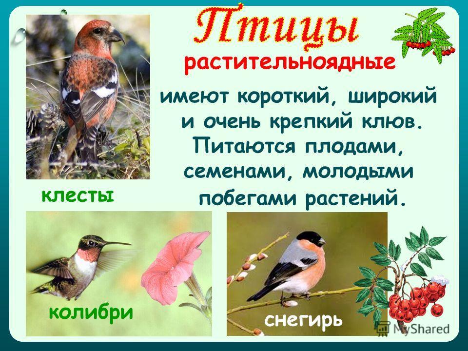 растительноядные имеют короткий, широкий и очень крепкий клюв. Питаются плодами, семенами, молодыми побегами растений. колибри снегирь клесты