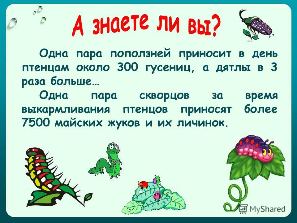 Одна пара поползней приносит в день птенцам около 300 гусениц, а дятлы в 3 раза больше… Одна пара скворцов за время выкармливания птенцов приносят более 7500 майских жуков и их личинок.