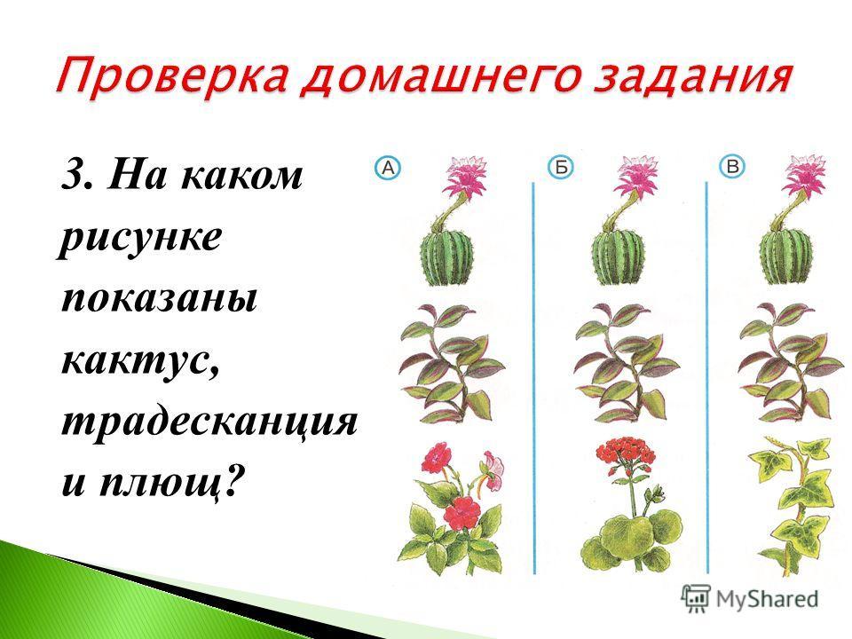 2. Какой кактус показан на фотографии? А) опунция Б) цереус