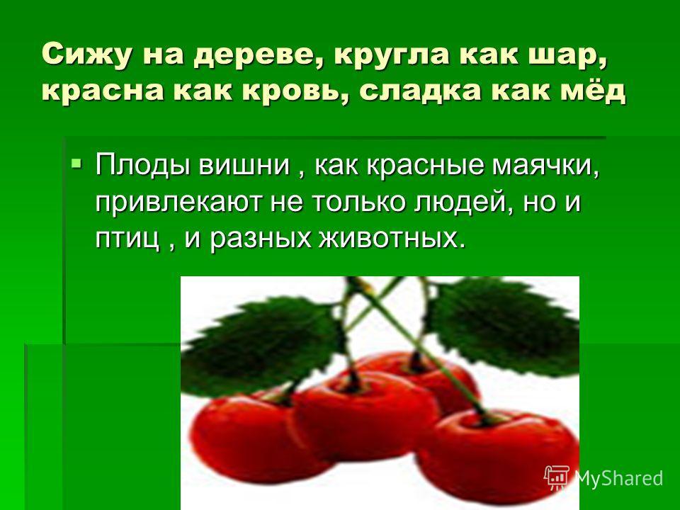 Сижу на дереве, кругла как шар, красна как кровь, сладка как мёд Плоды вишни, как красные маячки, привлекают не только людей, но и птиц, и разных животных. Плоды вишни, как красные маячки, привлекают не только людей, но и птиц, и разных животных.