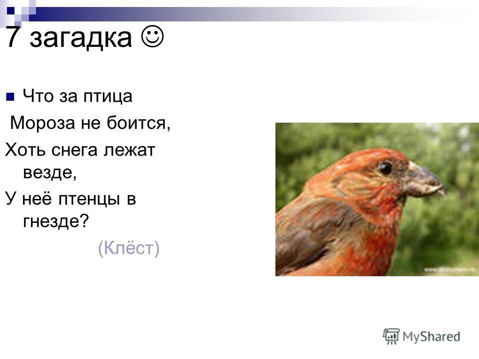 Что за птица Мороза не боится, Хоть снега лежат везде, У неё птенцы в гнезде? (Клёст) 7 загадка