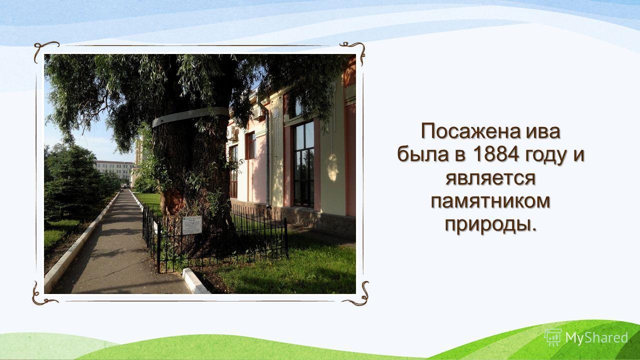 Посажена ива была в 1884 году и является памятником природы.