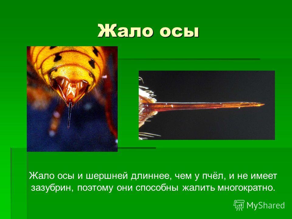 Жало осы Жало осы и шершней длиннее, чем у пчёл, и не имеет зазубрин, поэтому они способны жалить многократно.