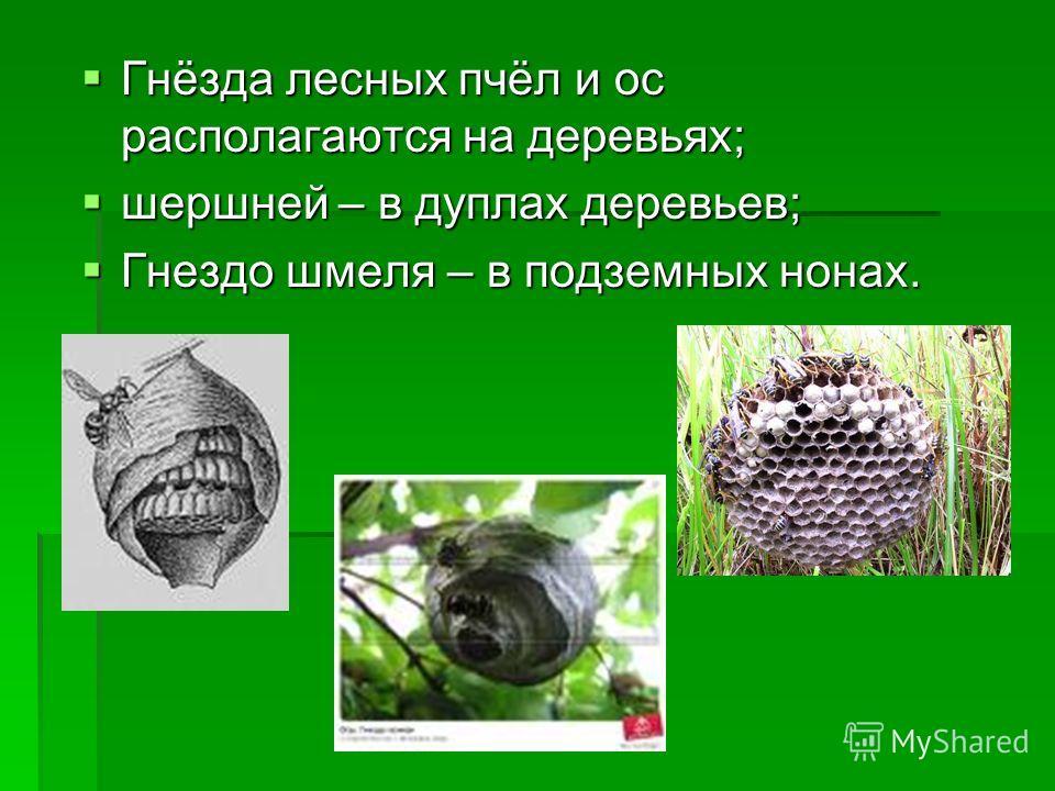 Гнёзда лесных пчёл и ос располагаются на деревьях; Гнёзда лесных пчёл и ос располагаются на деревьях; шершней – в дуплах деревьев; шершней – в дуплах деревьев; Гнездо шмеля – в подземных нонах. Гнездо шмеля – в подземных нонах.