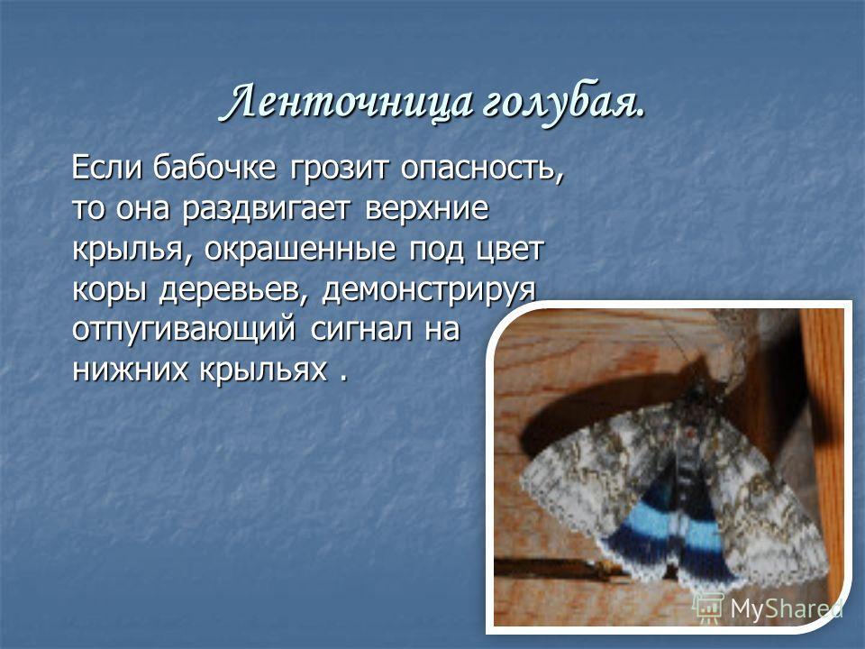 Ленточница голубая. Если бабочке грозит опасность, то она раздвигает верхние крылья, окрашенные под цвет коры деревьев, демонстрируя отпугивающий сигнал на нижних крыльях. Если бабочке грозит опасность, то она раздвигает верхние крылья, окрашенные по