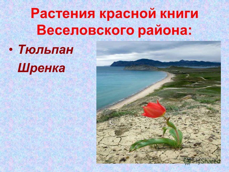 Растения красной книги Веселовского района: Тюльпан Шренка
