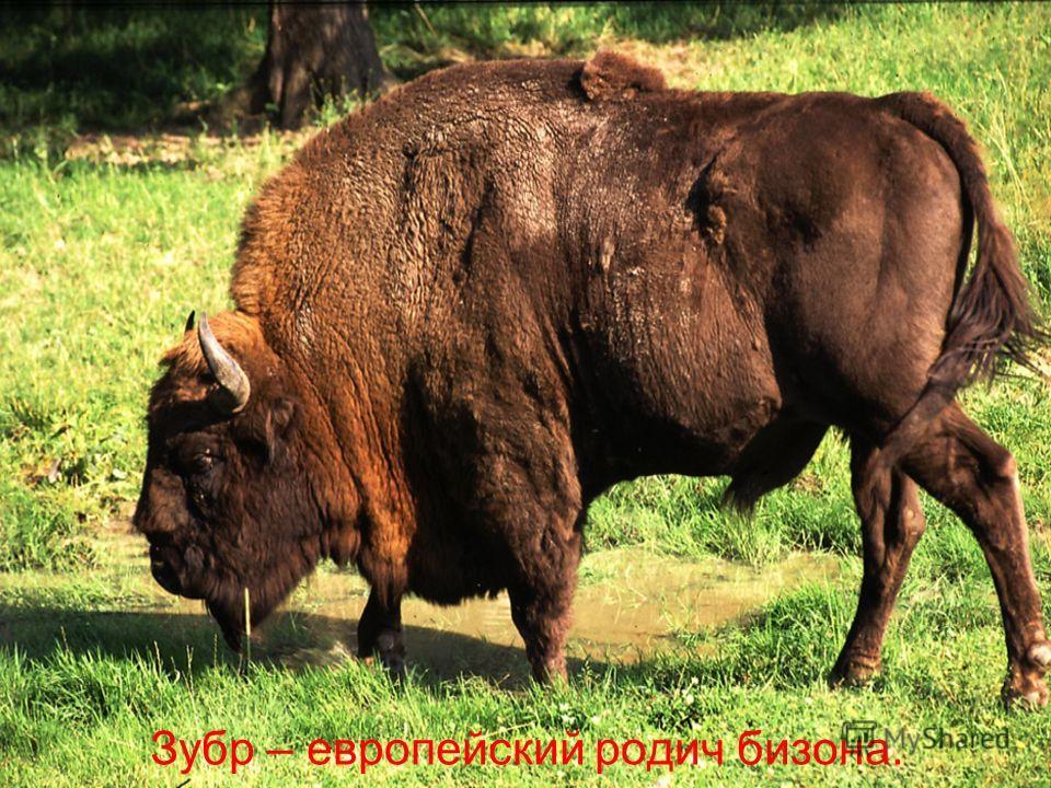 Зубр – европейский родич бизона.