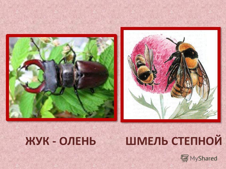 ЖУК - ОЛЕНЬШМЕЛЬ СТЕПНОЙ