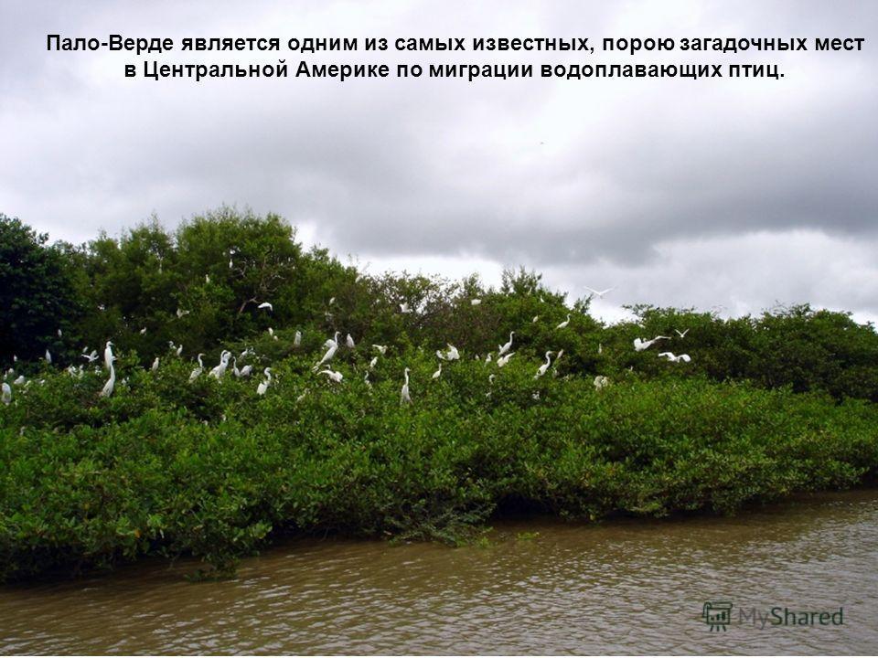 Пало-Верде является одним из самых известных, порою загадочных мест в Центральной Америке по миграции водоплавающих птиц.