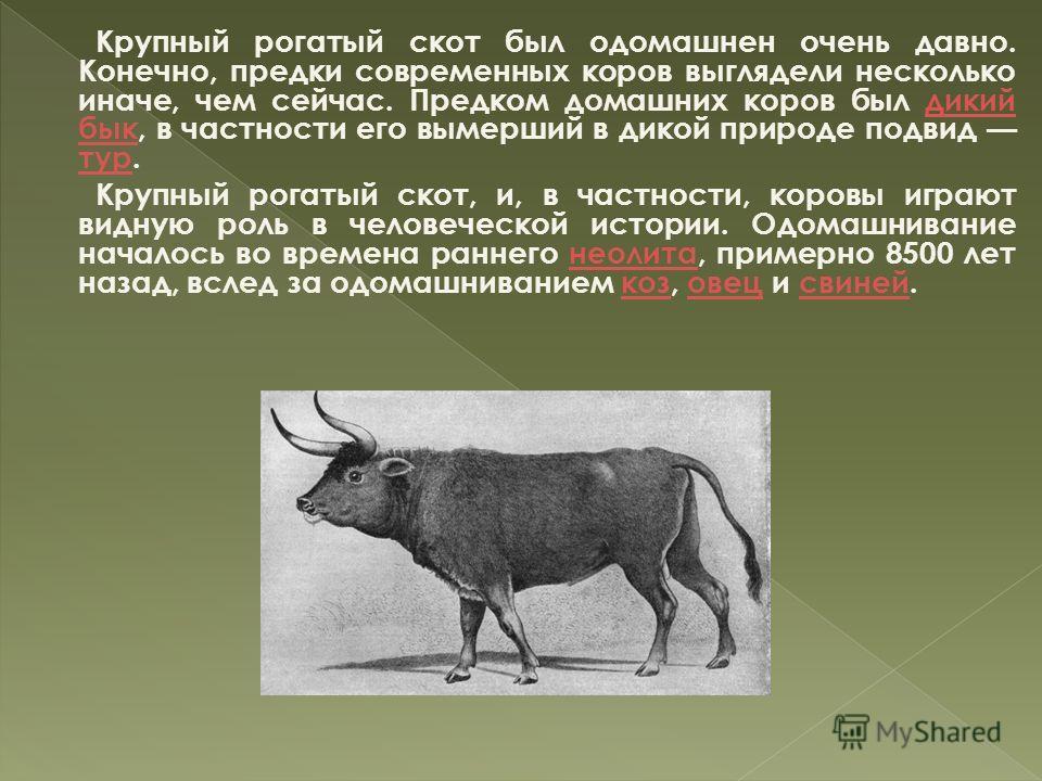Крупный рогатый скот был одомашнен очень давно. Конечно, предки современных коров выглядели несколько иначе, чем сейчас. Предком домашних коров был дикий бык, в частности его вымерший в дикой природе подвид тур.дикий бык тур Крупный рогатый скот, и,