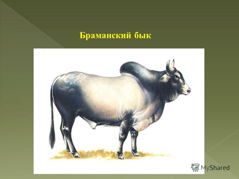 Браманский бык