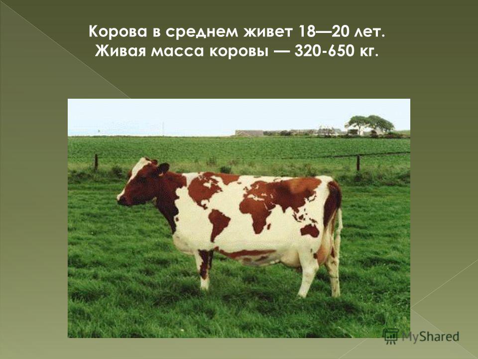 Корова в среднем живет 1820 лет. Живая масса коровы 320-650 кг.
