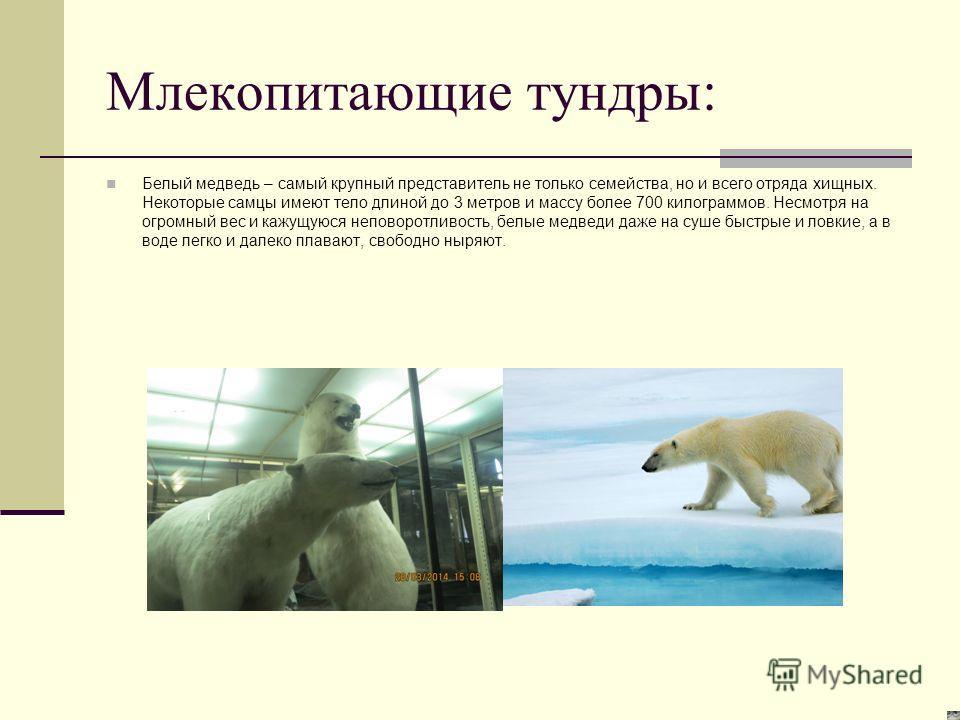 Млекопитающие тундры: Белый медведь – самый крупный представитель не только семейства, но и всего отряда хищных. Некоторые самцы имеют тело длиной до 3 метров и массу более 700 килограммов. Несмотря на огромный вес и кажущуюся неповоротливость, белые