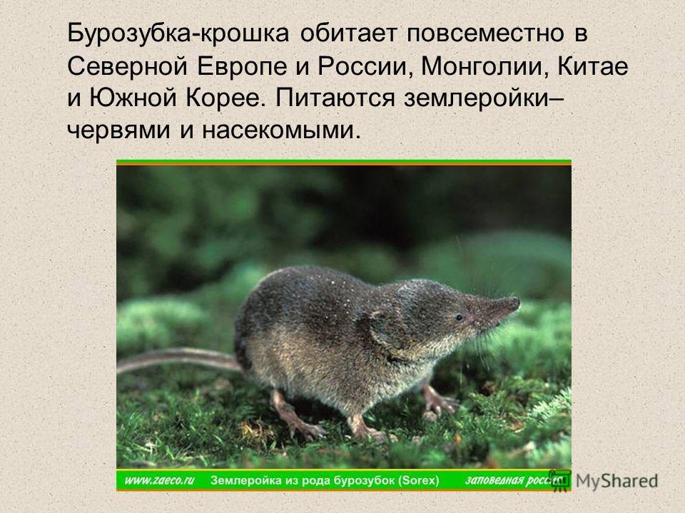 Бурозубка-крошка обитает повсеместно в Северной Европе и России, Монголии, Китае и Южной Корее. Питаются землеройки– червями и насекомыми.