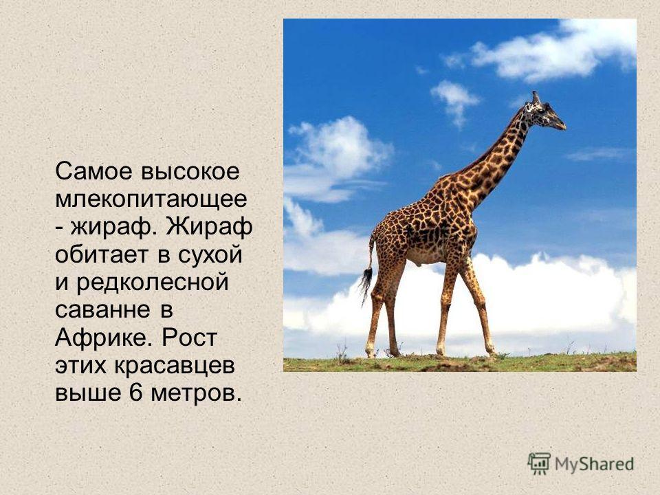 Самое высокое млекопитающее - жираф. Жираф обитает в сухой и редколесной саванне в Африке. Рост этих красавцев выше 6 метров.